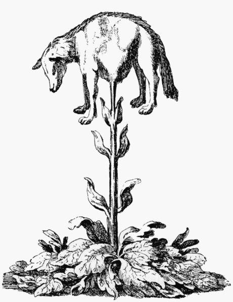 Vegetable Lamb of Tartary